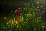 Wet Poppies
