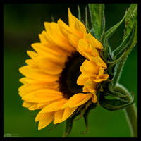 Sunflower Portrait by KeldBach