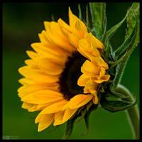 Sunflower Portrait by KeldBach