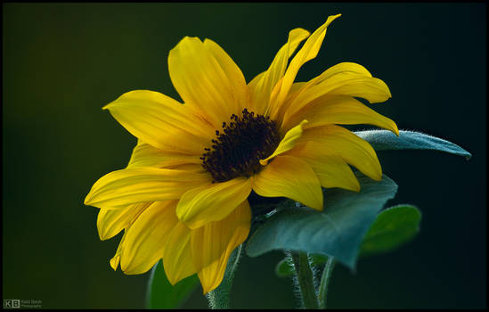 Autumnal Sunflower