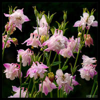 Columbines Gathering by KeldBach
