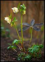 Creamy Lenten Rose by KeldBach