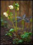 Creamy Lenten Rose