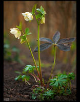 Creamy Lenten Rose by KeldBach