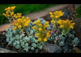 Blooming Stonecrop by KeldBach