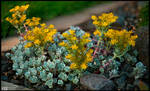 Blooming Stonecrop