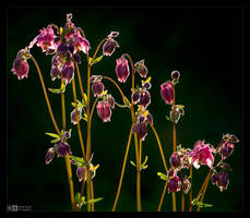 Columbine Buds by KeldBach