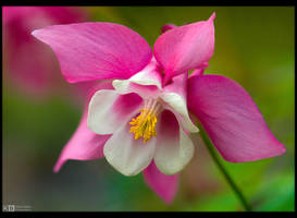 Pink Lady by KeldBach