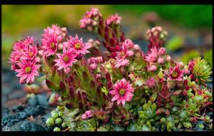 Blooming Succulent by KeldBach