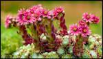 Blooming Cobweb