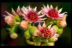 Blooming Sempervivum by KeldBach