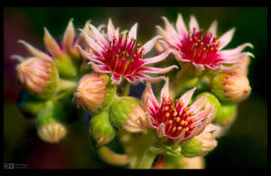 Blooming Sempervivum by KeldBach