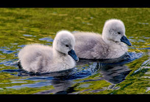 Cygnet Siblings by KeldBach