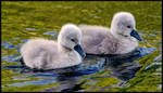 Cygnet Siblings