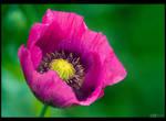 Magenta Poppy Portrait by KeldBach