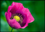 Magenta Poppy Portrait