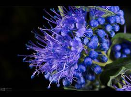 Blooming Bluebeard by KeldBach