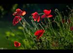 Poppy Mood by KeldBach