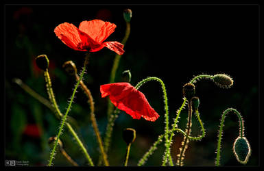 Poppies are Forever by KeldBach