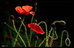 Poppies are Forever