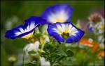 Blue Bindweed