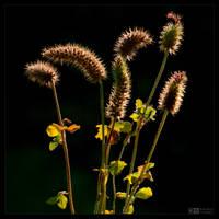 Fuzzy Seed Pods by KeldBach
