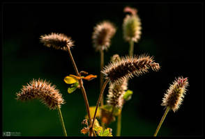 Fuzzy Seed Pods 2