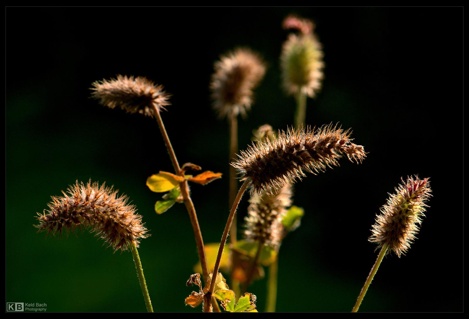 Fuzzy Seed Pods 2 by KeldBach