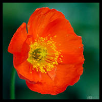 Poppy Portrait 2 by KeldBach