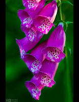 Purple Foxglove by KeldBach