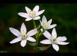 Grass Lily by KeldBach