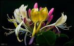 Blooming Caprifolium