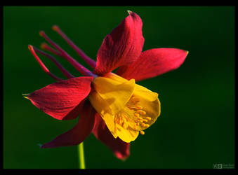 Long-Horned Aquilegia by KeldBach