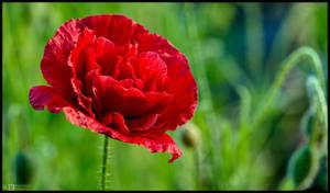 Disguised as a Rose by KeldBach