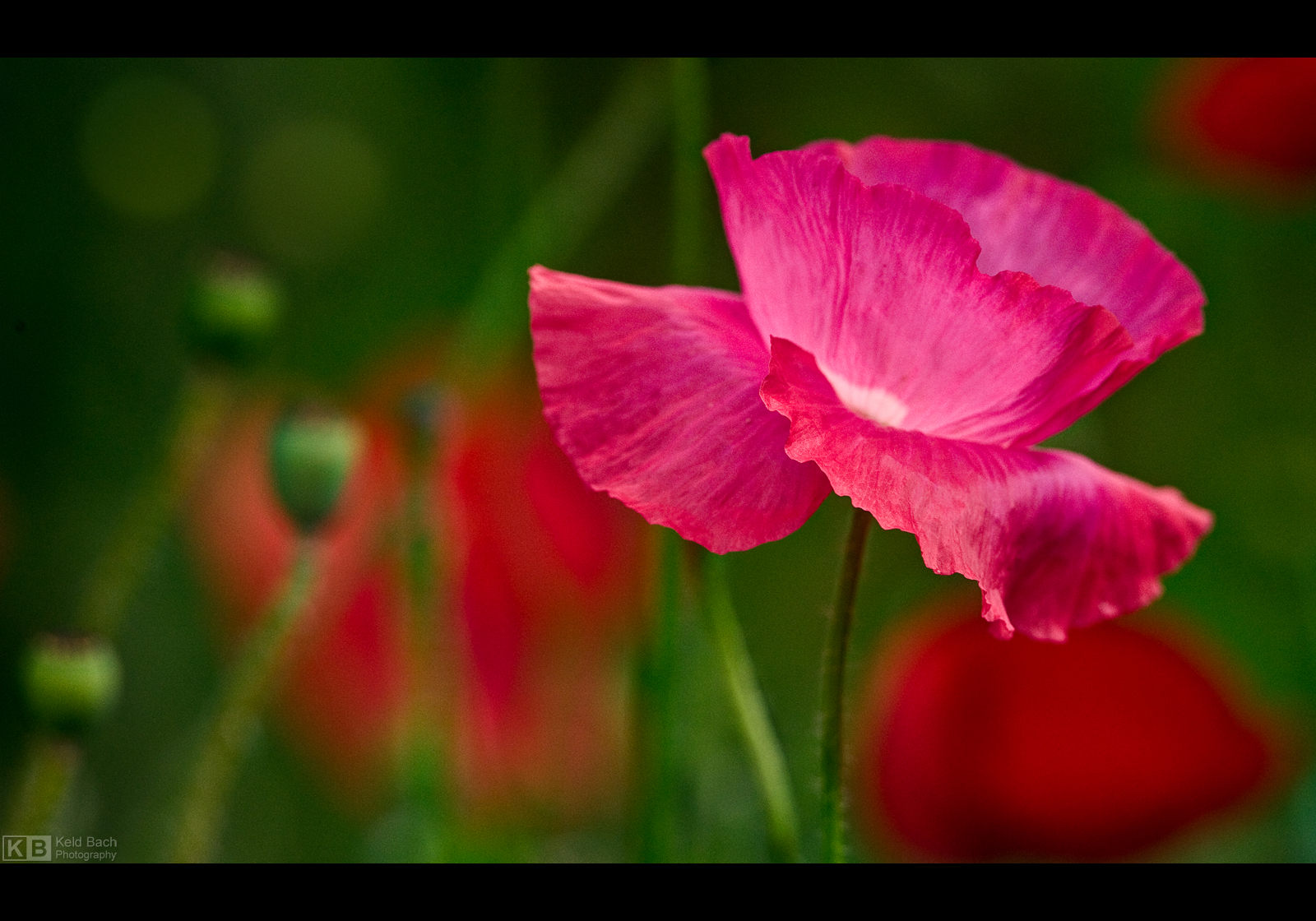 Pinkish Poppy by KeldBach