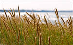 Lyme Grass