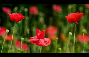 Poppy Cups by KeldBach