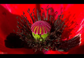 Poppy Intimacy by KeldBach