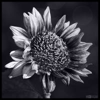 Sun Seeker in Mono by KeldBach