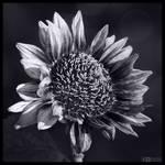 Sun Seeker in Mono by KeldBach