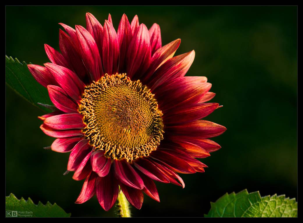 Crimson Sunflower by KeldBach