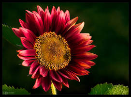 Crimson Sunflower by KeldBach