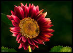Crimson Sunflower