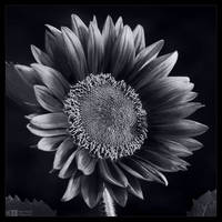 Crimson Sunflower in Mono by KeldBach