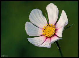 White Cosmos by KeldBach
