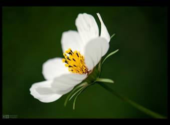 Just a Simple Flower by KeldBach