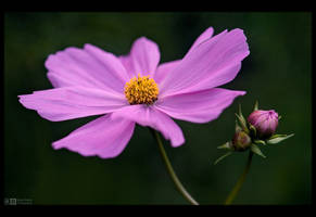 Cosmos Delight by KeldBach