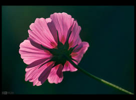 Backlit Cosmos by KeldBach