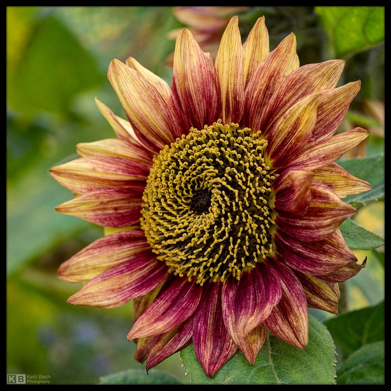 Peach-Coloured Sunflower by KeldBach