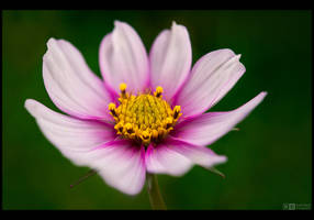 Flaming White Cosmos by KeldBach